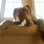 weimaraner dog at the top of the stairs
